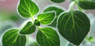 Orégano poderosa hierba para la dieta