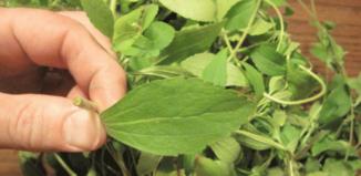 Una planta para eliminar las ganas de fumar