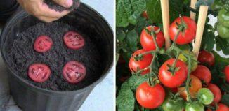 Cómo tener tomates ilimitados en casa